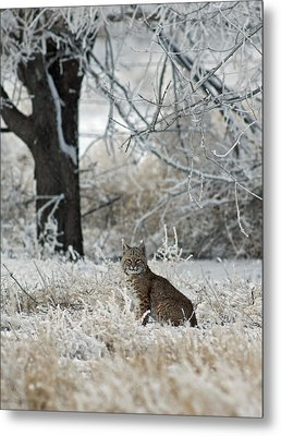 Bobcat And Heavy Frost Metal Print by Gary Langley