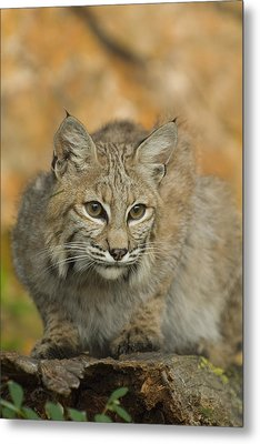 Bobcat Felis Rufus Metal Print by Grambo Photography and Design Inc.