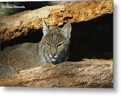 Bobcat Hiding In A Log Metal Print by Barbara Bowen
