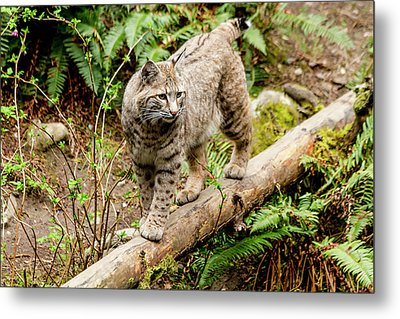 Bobcat In Forest Metal Print