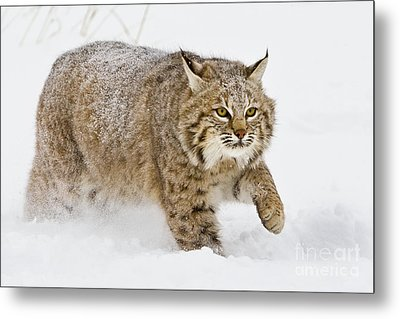 Bobcat In Snow Metal Print