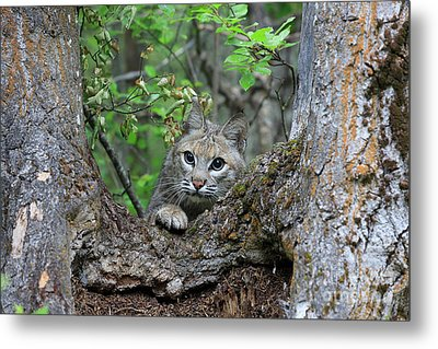 Bobcat Lynx Rufus Metal Print by Louise Heusinkveld