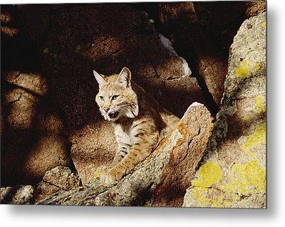 Bobcat Lynx Rufus Portrait On Rock Metal Print by Gerry Ellis