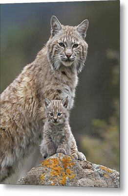 Bobcat Mother And Kitten North America Metal Print