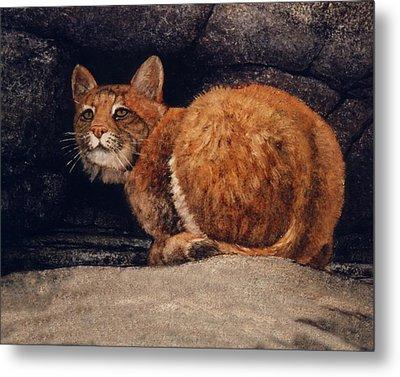Bobcat On Ledge Metal Print by Frank Wilson
