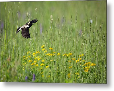 Metal Print featuring the photograph Bobolink In Paradise by Bill Wakeley