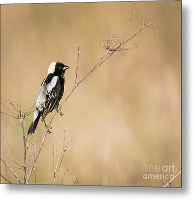 Metal Print featuring the photograph Bobolink  by Ricky L Jones