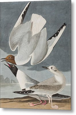 Bonapartian Gull Metal Print by John James Audubon
