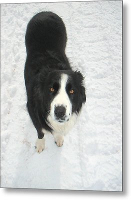 Border Collie In Snow With Amber Eyes Metal Print by Sandra McGinley