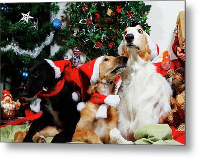 Borzoi Hounds Dressed As Father Christmas Metal Print by Christian Lagereek