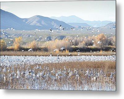 Bosque Del Apache Snow Geese Landscape Metal Print by Andrea Hazel Ihlefeld