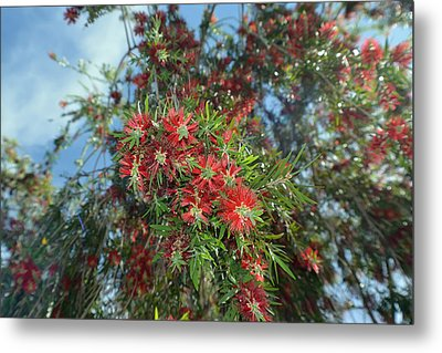 Bottlebrush  Blossoms Metal Print by Aimee L Maher Photography and Art Visit ALMGallerydotcom