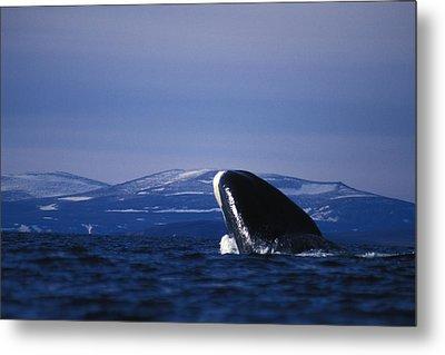 Bowhead Whale Balaena Mysticetus Metal Print by Nick Norman