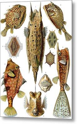 Box Fishes Metal Print by German School
