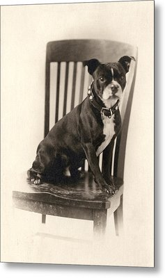 Boxer Sitting On A Chair Metal Print by Unknown