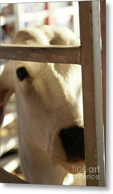 Metal Print featuring the photograph Brahma Love - 2 by Linda Shafer