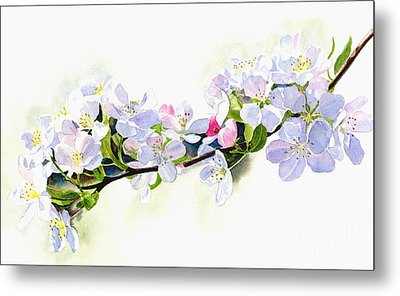 Branch Of White Shadowed Apple Blossoms Metal Print by Sharon Freeman