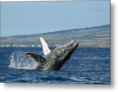 Breach Near Maui I Metal Print by Dave Fleetham - Printscapes