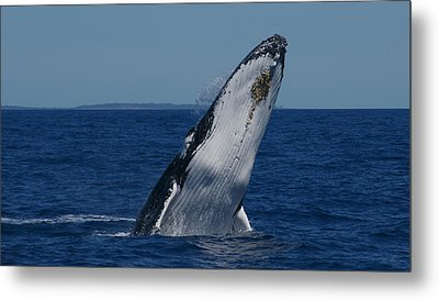 Metal Print featuring the photograph Breaching Humpback Whale by Gary Crockett