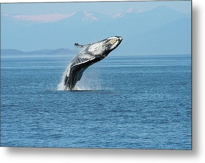 Breaching Humpback Whales Happy-3 Metal Print