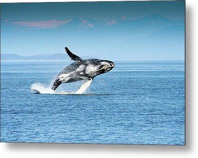 Breaching Humpback Whales Happy-4 Metal Print
