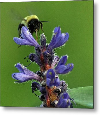 Metal Print featuring the photograph Bumble Bee Breakfast by Glenn Gordon