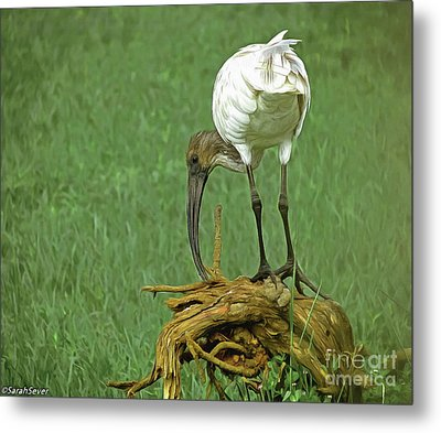Breakfast With The Ibis Metal Print
