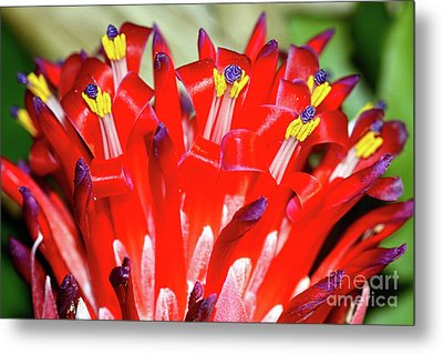 Metal Print featuring the photograph Bright Blooming Bromeliad By Kaye Menner by Kaye Menner