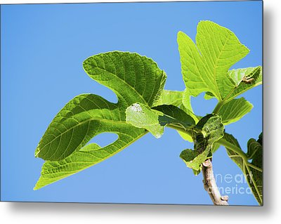 Bright Green Fig Leaf Against The Sky Metal Print by Cesar Padilla