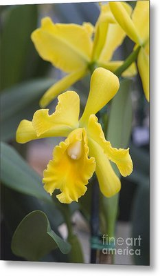 Bright Yellow Cattleya Orchid Metal Print by Allan Seiden - Printscapes