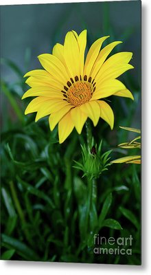 Metal Print featuring the photograph Bright Yellow Gazania By Kaye Menner by Kaye Menner