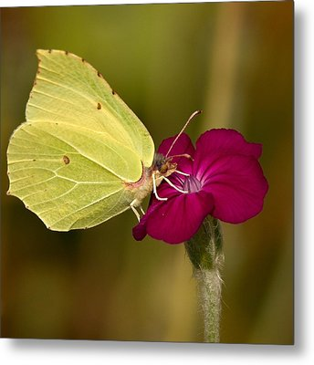 Metal Print featuring the photograph Brimstone 1 by Jouko Lehto