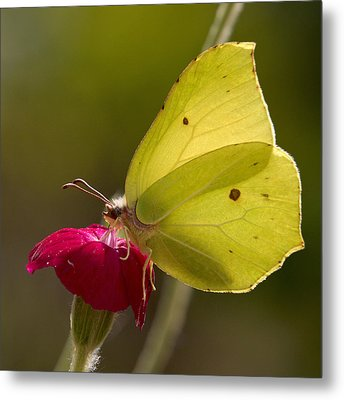 Metal Print featuring the photograph Brimstone 2 by Jouko Lehto
