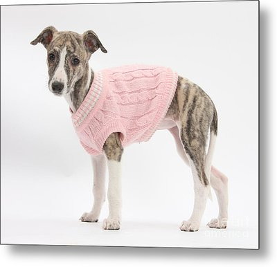 Brindle-and-white Whippet Pup Metal Print