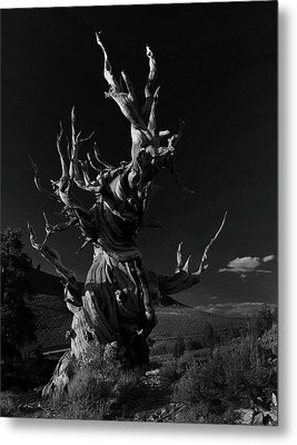 Metal Print featuring the photograph Bristlecone Pine by Art Shimamura