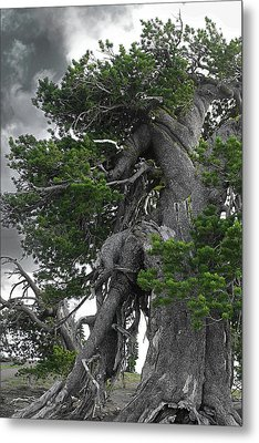 Bristlecone Pine Tree On The Rim Of Crater Lake - Oregon Metal Print by Christine Till