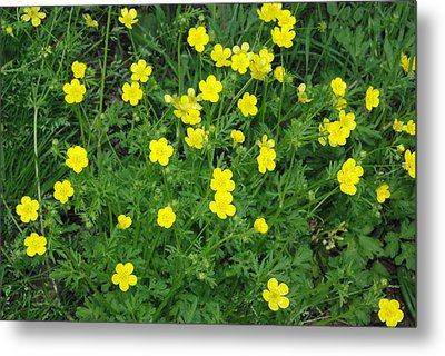Bristly Buttercup Metal Print by Robyn Stacey