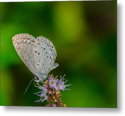 British Butterfly Or Little Blue Metal Print by Bruce Pritchett