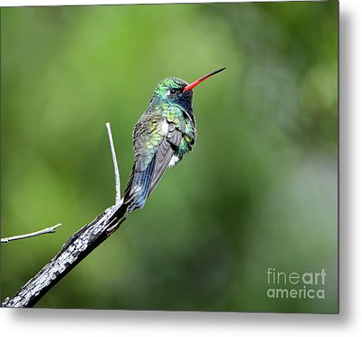 Broad-billed Hummingbird Metal Print