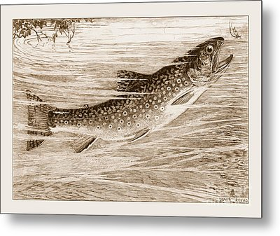 Brook Trout Going After A Fly Metal Print by John Stephens