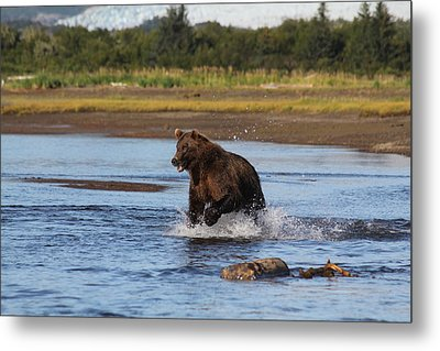 Brown Bear Chasing Fish Metal Print by David Wilkinson