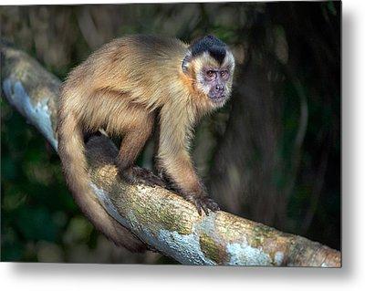 Brown Capuchin Monkey Cebus Apella Metal Print