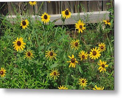 Brown Eyed Susans Metal Print by Robyn Stacey