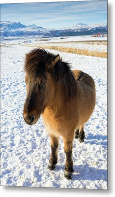 Metal Print featuring the photograph Brown Icelandic Horse In Winter In Iceland by Matthias Hauser