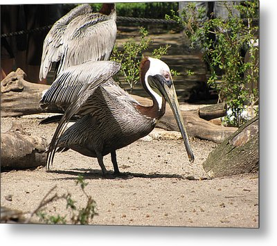 Brown Pelican Metal Print by Martha Ayotte