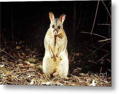 Brush-tailed Possum Metal Print