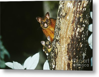 Brush-tailed Possum With Young Metal Print by B. G. Thomson
