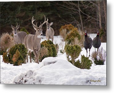 Metal Print featuring the photograph Buck And Turkey by Angel Cher