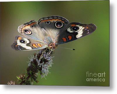 Buckeye Beauty Metal Print