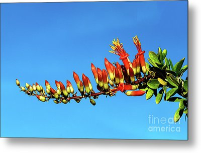 Metal Print featuring the photograph Budding Ocotillo by Robert Bales